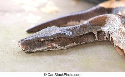 python,  boa, cobra