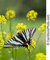 Zebra Swallowtail Butterfly - A close up shot of a Zebra...