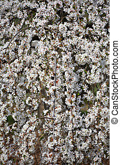 Spring bloom - Close up shot of wheeping cherry tree in...