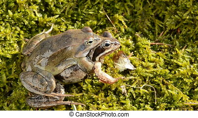 frogs couple in the early spring season