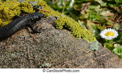 Great Crested Newt in early spring