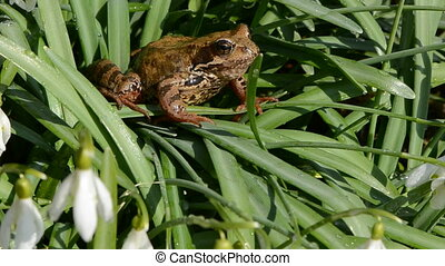spring snowdrops and frog - wind in the spring snowdrops and...