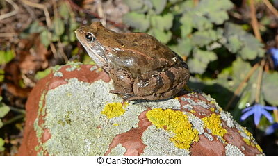 European common frog on stone with lichens