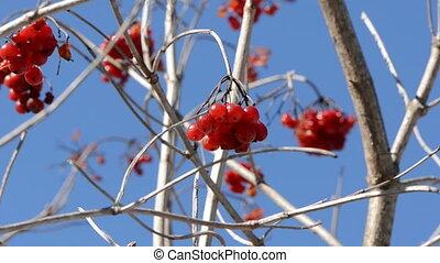 autumn viburnum red berries