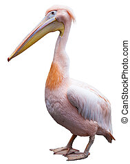 Pink Pelican Pelecanus onocrotalus isolated on white...
