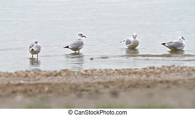 Seagulls bathing in the lake