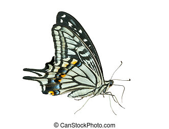 Butterfly (Papilio xuthus) 33