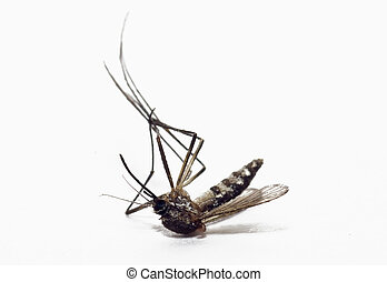 dead mosquito on isolated background