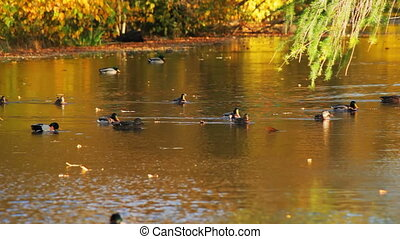 Autumn river and the duck