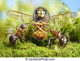 hunters and dried wasp, focus on ants - ants formica rufa...