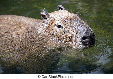 Capybara - The capybara in the water, close-up on her head