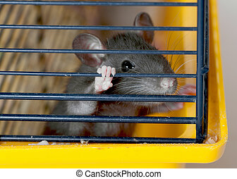 small rat in a cage