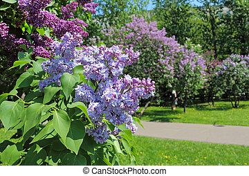 Beautiful garden blooming lilacs. - Spring. Beautiful garden...