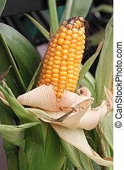 Getreide, Kolben