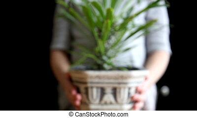 Cactus - Madagascan palm tree. Cactus. Pachypodium lameri