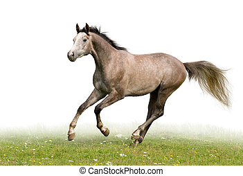 Grey horse isolated on white - Grey Trakehner horse runs on...