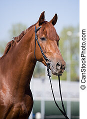 Chestnut horse portrait in bridle at city.