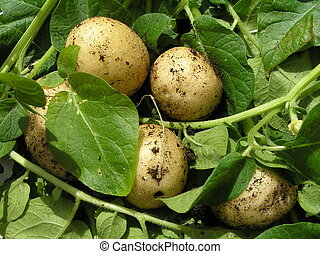 A bunch of fresh new potatoes