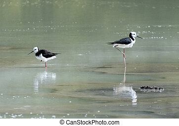 New Zealand -Travel Photos - Two Pied Stilt birds in...
