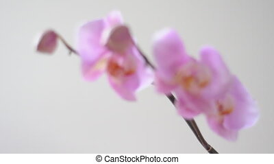 orchid - branch of pink orchid with changing focus