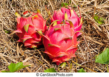 Red dragon fruit - Image of dragon fruit in the park