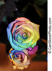 mulit colour rose are strongly bloomed in miniature