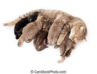cinco, gatitos, cría, alimentación, madre,...