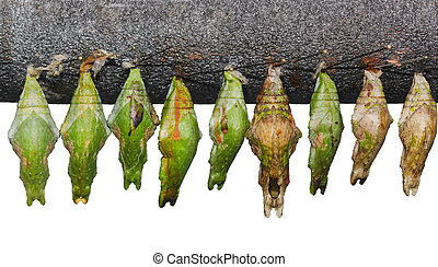 Chrysalis Set - Set of papilio memnon great mormon chrysalis...