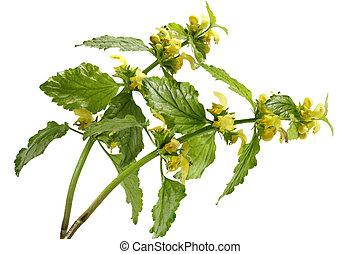 Yellow Archangel Flower - Yellow Archangel Flower Lamiastrum...