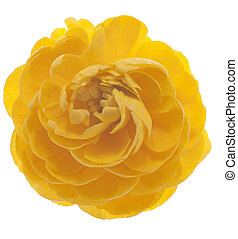 persian buttercup - Studio Shot of Yellow Colored Persian...