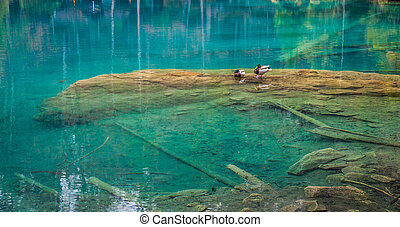 Blausee, Switzerland - Wild Ducks - Wild ducks at Blausee,...