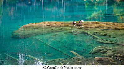 Blausee, Switzerland - Wild Ducks - Wild ducks at Blausee,...