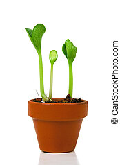 Sprouts in a flowerpot on white background