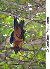 Bat in a tree - A flying fox bat is hanging on a tree branch...