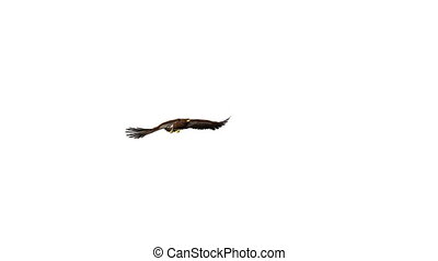 Golden Eagle - image of golden Eagle