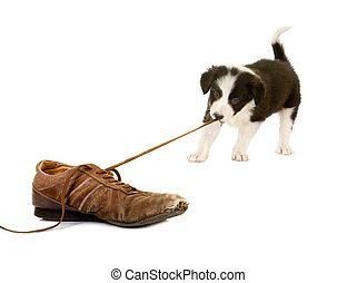 Puppy pulling shoe lace - Young puppy of 5 weeks old pulling...