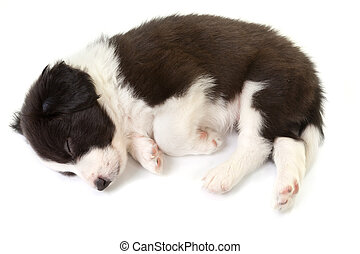 Sleeping border collie puppy