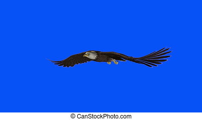 Bald eagle - image of bald eagle