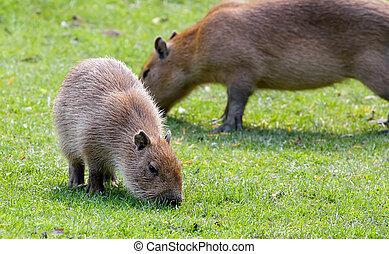 Capybara grazing on fresh green grass - Capybara...