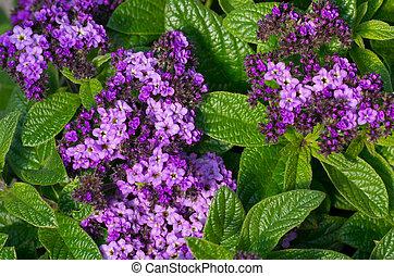 Heliotrope flowers in bloom - A group of purple heliotrope...