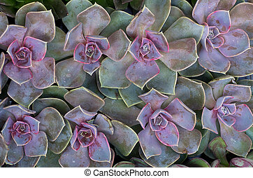 Group of sedum plants - A group of sedum or succulent plants