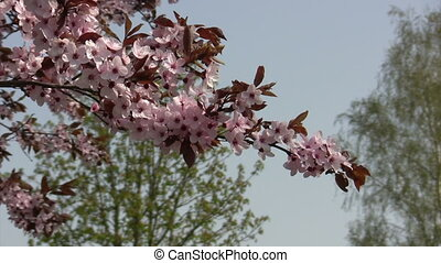 Wind in spring - Cherry blossoms in the wind