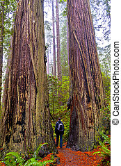 Hiking Girl standing between two giant Redwood trees -...