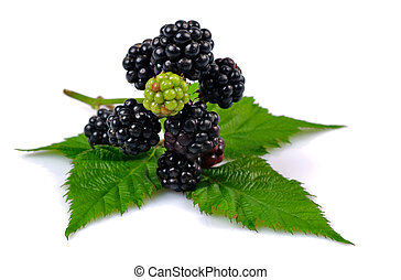 Blackberry branch isolated