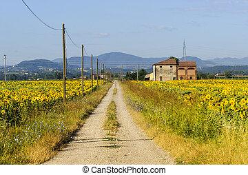 Sunflowers in Emilia-Romagna - Path and sunflowers field...