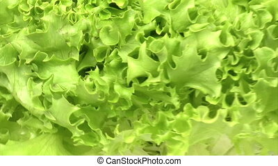 Lettuce zoom out - Green lettuce zooming out