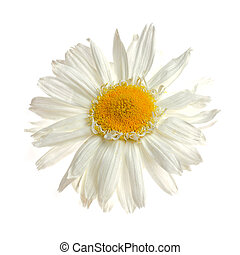 Ox-eye daisy - One ox-eye daisy isolated on white background...