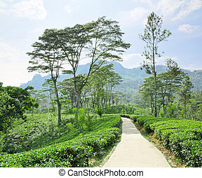 tea plantation emerald green in the mountains of Sri Lanka -...