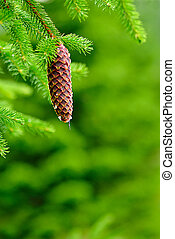Cones on pine with resin, shallow deep of field