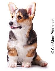 dog breed Welsh Corgi, Pembroke - puppy dog breed Welsh...